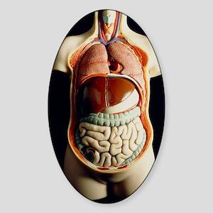Model of human torso showing intern Sticker (Oval)