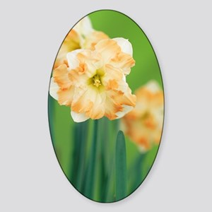 Daffodil (Narcissus 'Cum Laude') Sticker (Oval)