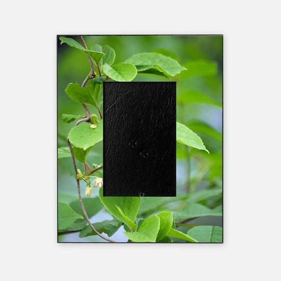 Chinese schisandra (Schisandra chine Picture Frame