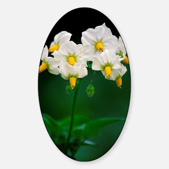 Potato flowers (Solanum tuberosum) Sticker (Oval)