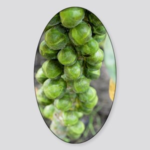 Brussel sprouts plant Sticker (Oval)