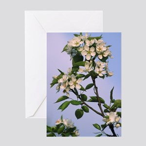 Chinese pear blossom (Pyrus ussurien Greeting Card