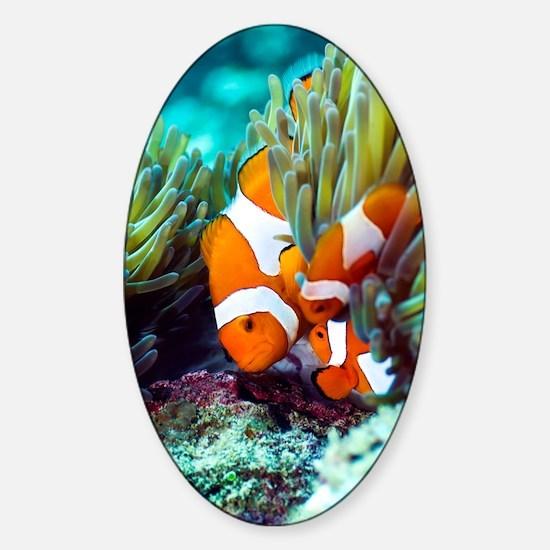 False clown anemonefish Sticker (Oval)