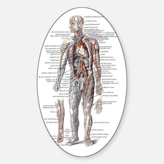 Anatomy of the Human Body Sticker (Oval)