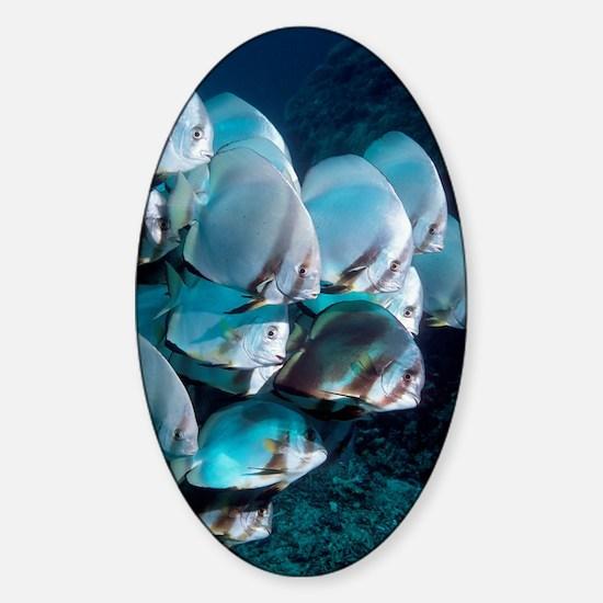 Batfish Sticker (Oval)