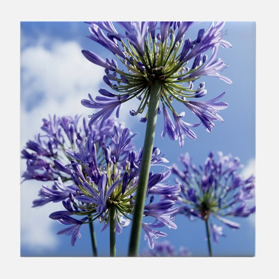 African lilies (Agapanthus sp.) Tile Coaster