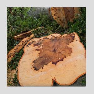 A felled beech tree (Fagus sylvatica) Tile Coaster