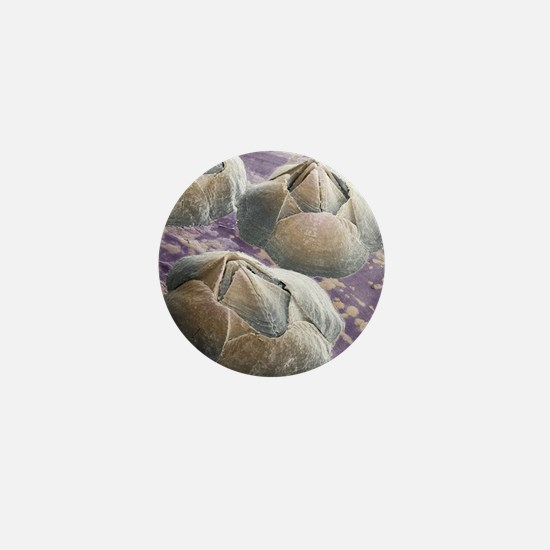 Acorn barnacles, SEM Mini Button