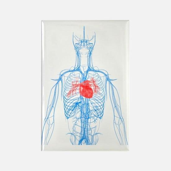 Cardiovascular system, artwork Rectangle Magnet