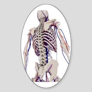 Human anatomy, artwork Sticker (Oval)