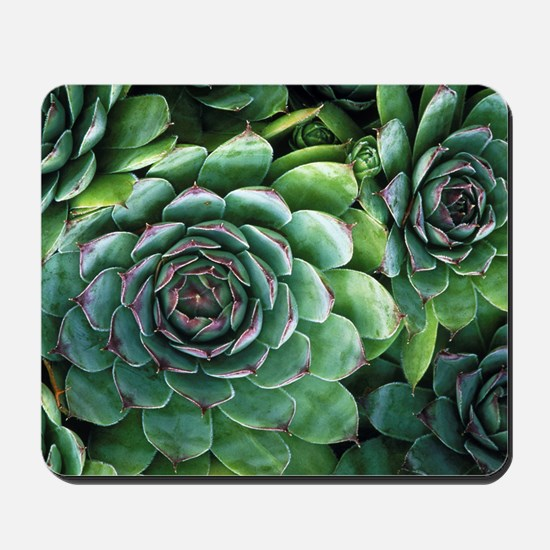 'Hens and chicks' succulents Mousepad