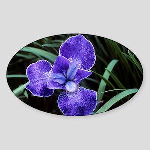 Siberian iris (Iris 'Nottingham Lac Sticker (Oval)
