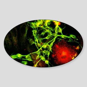 Immunofluorescent LM of macrophage  Sticker (Oval)