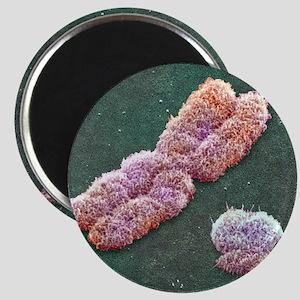 Male sex chromosomes, SEM Magnet