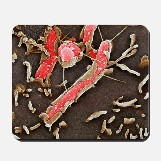 Helicobacter pylori bacteria, SEM Mousepad