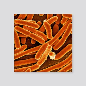 """Escherichia coli bacteria,  Square Sticker 3"""" x 3"""""""
