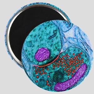 Synapse nerve junction, TEM Magnet