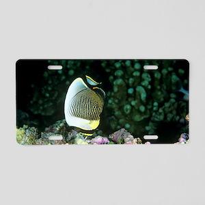 Angelfish feeding Aluminum License Plate