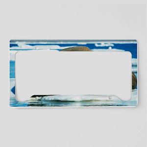 Atlantic walrus License Plate Holder