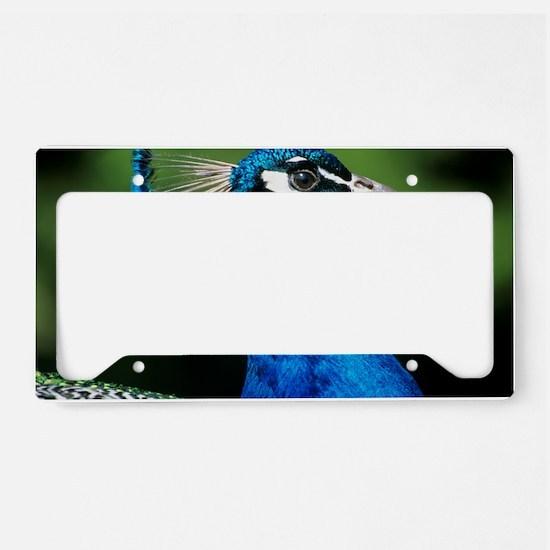 Blue peacock License Plate Holder