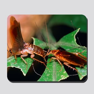 Blattellid cockroach courtship Mousepad