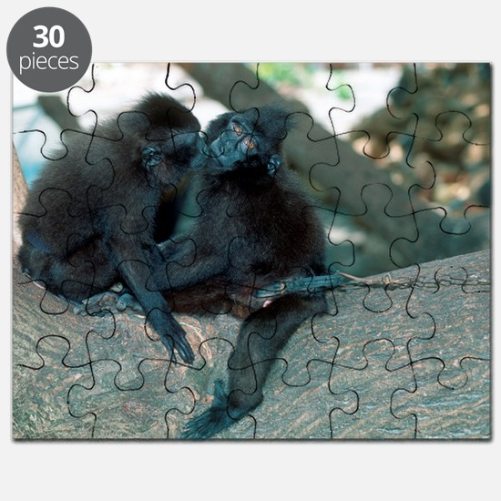 Captive crested black macaques Puzzle