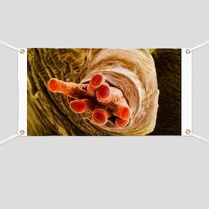 Breathing tube on a fruit fly's pupa, SEM Banner