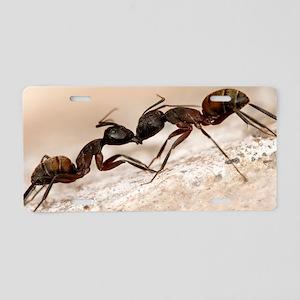 Carpenter ants fighting Aluminum License Plate