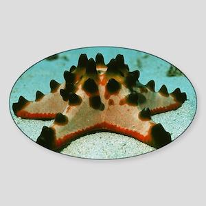Chocolate chip starfish Sticker (Oval)