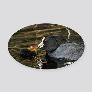 Adult coot feeding its chick Oval Car Magnet