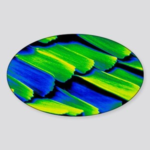 Coloured SEM of wing scales of Morp Sticker (Oval)