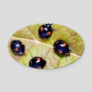 Harlequin ladybirds Oval Car Magnet