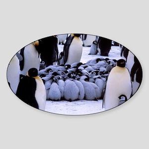 Emperor penguin chicks huddling Sticker (Oval)