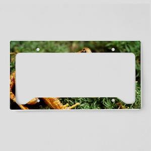 European common frog License Plate Holder