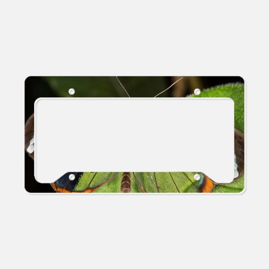 Glasswing butterfly License Plate Holder