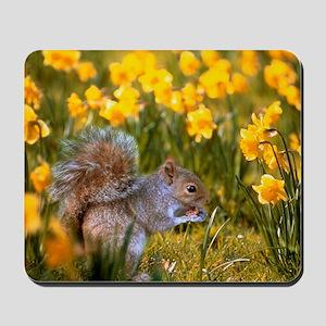 Grey squirrel amongst daffodils eating a Mousepad