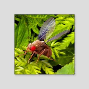 "Fruit fly, SEM Square Sticker 3"" x 3"""