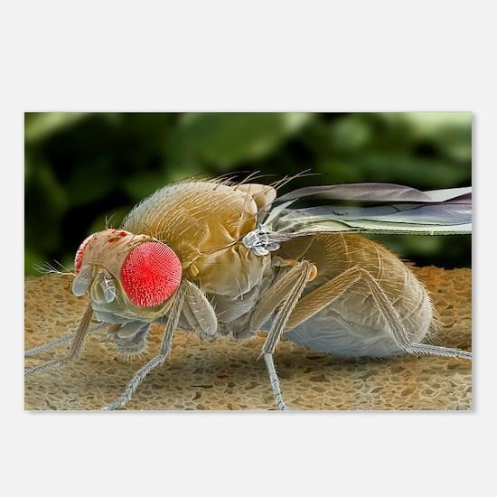 Fruit fly, SEM Postcards (Package of 8)