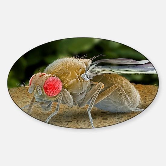 Fruit fly, SEM Sticker (Oval)