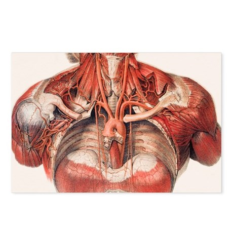 Blood vessels of chest an Postcards (Package of 8)
