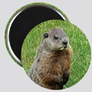 Woodchuck Eating Magnet
