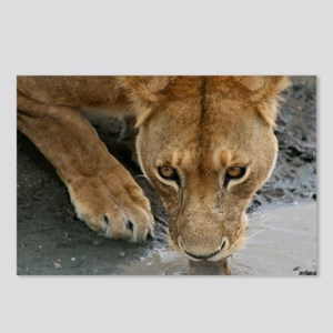 Serengeti Lioness Postcards (Package of 8)