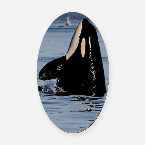 Spy Hopping Orca Oval Car Magnet