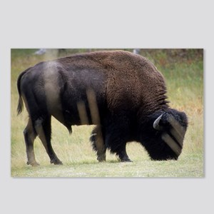 Big Buffalo in Yellowston Postcards (Package of 8)