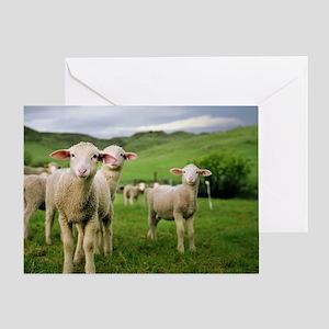 Curious lambs during an evening graz Greeting Card