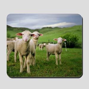 Curious lambs during an evening graze in Mousepad