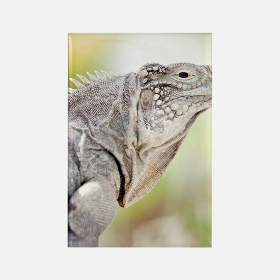 Large green Iguana basking in the Rectangle Magnet