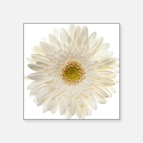 "White gerbera daisy isolate Square Sticker 3"" x 3"""