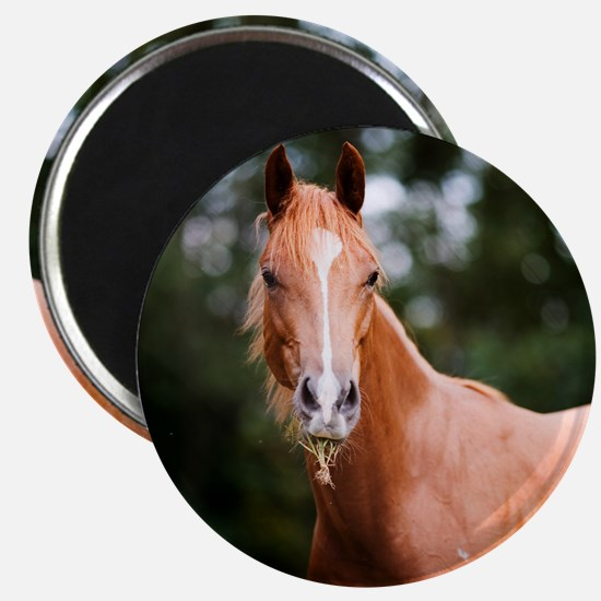 Young brown quarter horse eating grass. Magnet