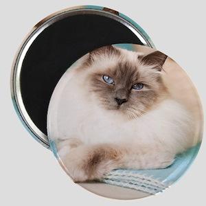 White sacred birman cat with blue eyes lyin Magnet
